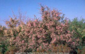 Tamarisk (Salt Cedar)